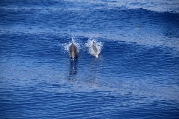 06_Whalewatch-Imperia-Delfine-im-Kielwasser-Pelagos-Sanctuary-Mittelmeer-Ligurien-Italien