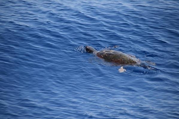 09_Whalewatch-Imperia-Meeresschildkroete-Pelagos-Sanctuary-Mittelmeer-Ligurien-Italien