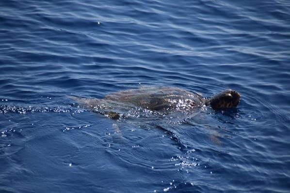 10_Whalewatch-Imperia-Meeresschildkroete-Pelagos-Sanctuary-Mittelmeer-Ligurien-Italien