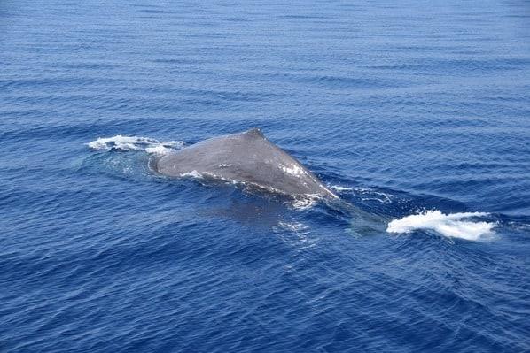 15_Whalewatch-Imperia-Pottwal-taucht-ab-Pelagos-Sanctuary-Mittelmeer-Ligurien-Italien