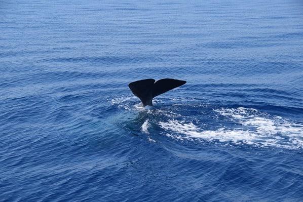 17_Whalewatch-Imperia-Pottwal-taucht-ab-Fluke-Schwanzflosse-Pelagos-Sanctuary-Mittelmeer-Ligurien-Italien