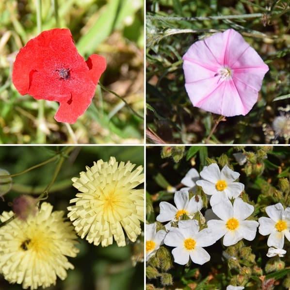 10_Fruehling-Blumen-Naturpark-Kap-Kamenjak-Istrien-Kroatien