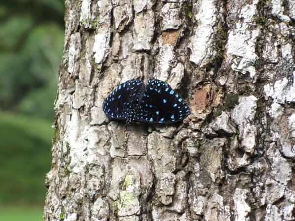 18_Schmetterling-Urwald-Maya-Ruine-Palenque-Mexiko