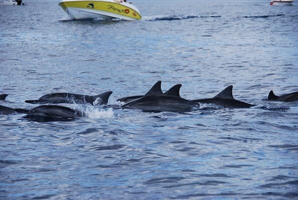 10_Delfinschule-Delfin-Tour-Mauritius-Indischer-Ozean