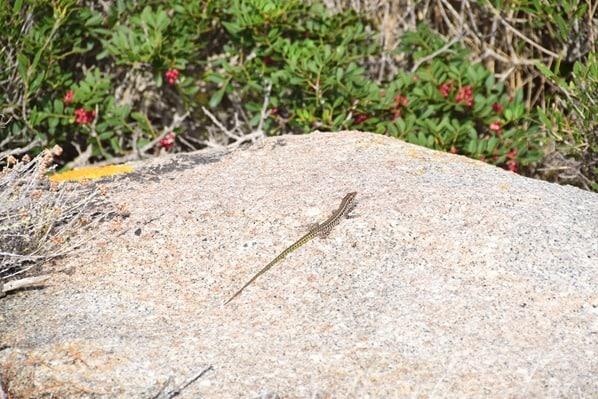 12_Gecko-Felsen-Natur-La-Maddalena-Sardinien-Italien-Mittelmeer