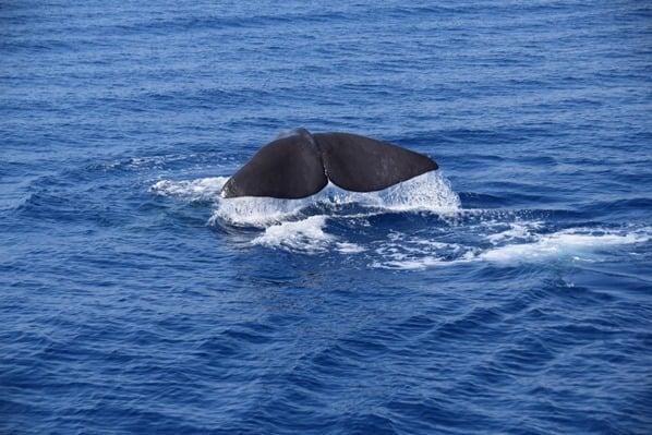 12_Whalewatching-Walboebachtung-Pottwal-Schwanzflosse-Fluke-Pelagos-Sanctuary-Whalewatching-Ligurien-Italien-Mittelmeer