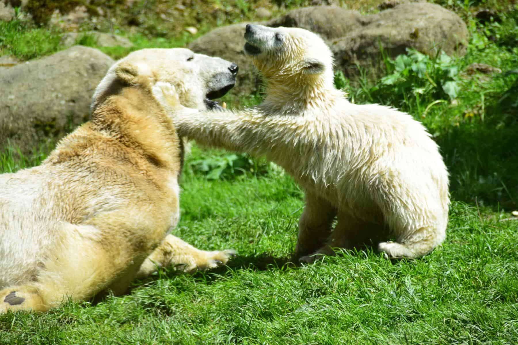 0 Eisbaeren Fotosafari Tierpark Hellabrunn Zoo Muenchen
