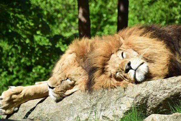 04_Loewen-Fotosafari-Tierpark-Hellabrunn-Zoo-Muenchen