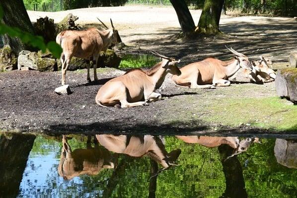 06_Elenantilope-Fotosafari-Tierpark-Hellabrunn-Zoo-Muenchen