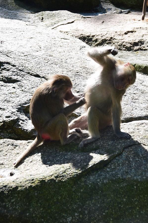 09_Mantelpavian-Fotosafari-Tierpark-Hellabrunn-Zoo-Muenchen