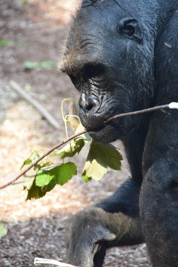 10_Schimpanse-Fotosafari-Tierpark-Hellabrunn-Zoo-Muenchen