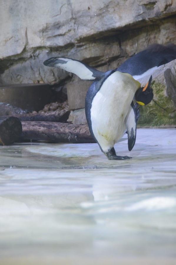 11_Pinguin-Yoga-Fotosafari-Tierpark-Hellabrunn-Zoo-Muenchen