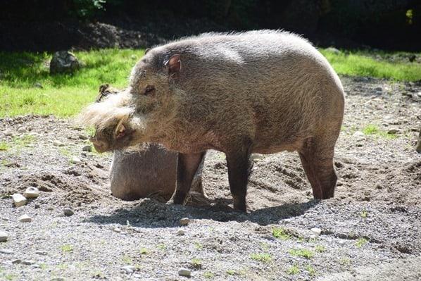 17_Bartschwein-Fotosafari-Tierpark-Hellabrunn-Zoo-Muenchen