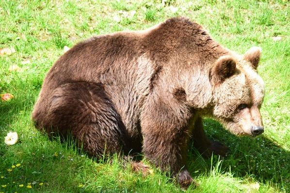 18_Braunbaer-Fotosafari-Tierpark-Hellabrunn-Zoo-Muenchen