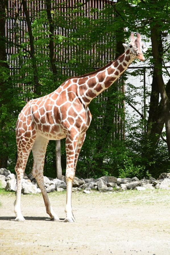 20_Giraffe-Fotosafari-Tierpark-Hellabrunn-Zoo-Muenchen
