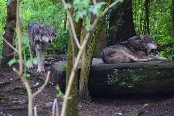 21_Maehnewolf-Wolf-Fotosafari-Tierpark-Hellabrunn-Zoo-Muenchen