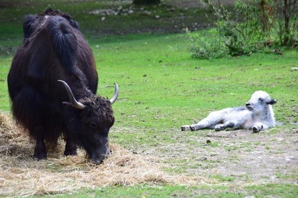 23_Bison-Kalb-Fotosafari-Tierpark-Hellabrunn-Zoo-Muenchen