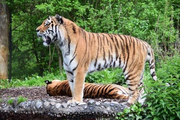 27_Tiger-Fotosafari-Tierpark-Hellabrunn-Zoo-Muenchen