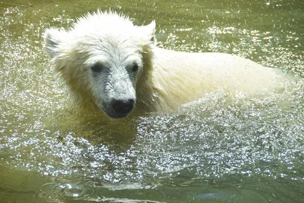 29_Eisbaeren-Baby-Quintana-schwimmt-Fotosafari-Tierpark-Hellabrunn-Zoo-Muenchen