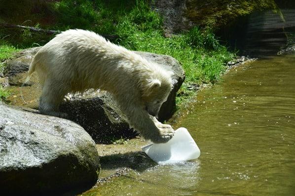 30_Eisbaeren-Baby-Quintana-spielt-Fotosafari-Tierpark-Hellabrunn-Zoo-Muenchen