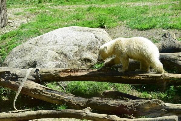 31_Eisbaeren-Baby-Quintana-klettert-Fotosafari-Tierpark-Hellabrunn-Zoo-Muenchen