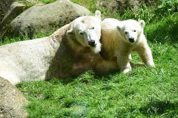 32_Eisbaeren-Baby-Quintana-Fotosafari-Tierpark-Hellabrunn-Zoo-Muenchen
