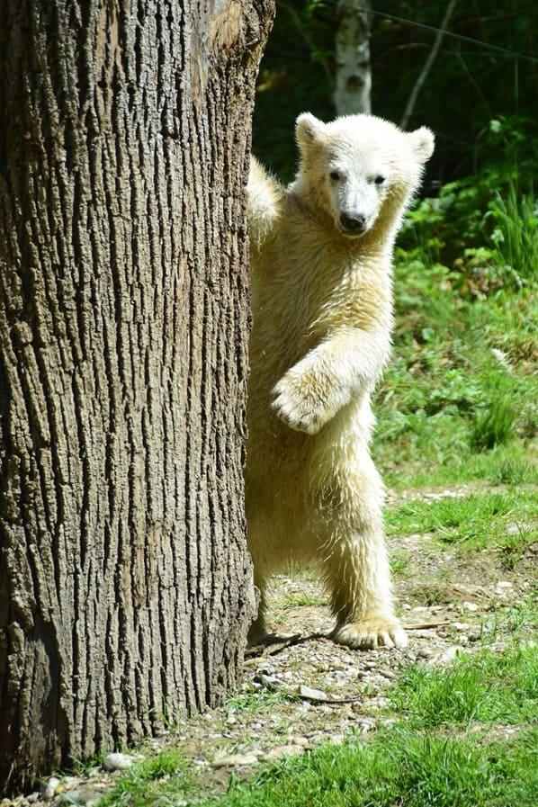 33_Eisbaeren-Baby-Quintana-steht-Fotosafari-Tierpark-Hellabrunn-Zoo-Muenchen