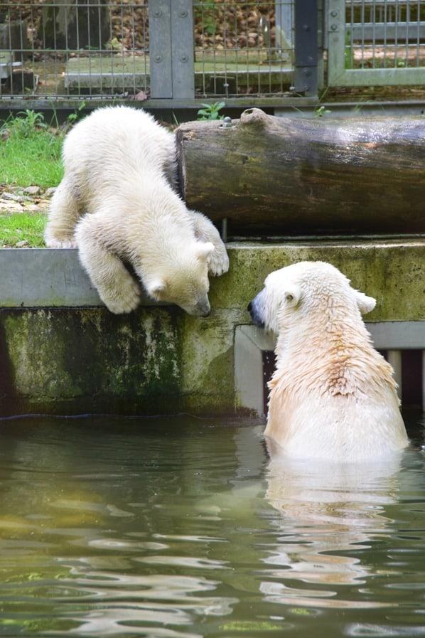 34_Eisbaeren-Baby-Quintana-mit-Mama-Fotosafari-Tierpark-Hellabrunn-Zoo-Muenchen