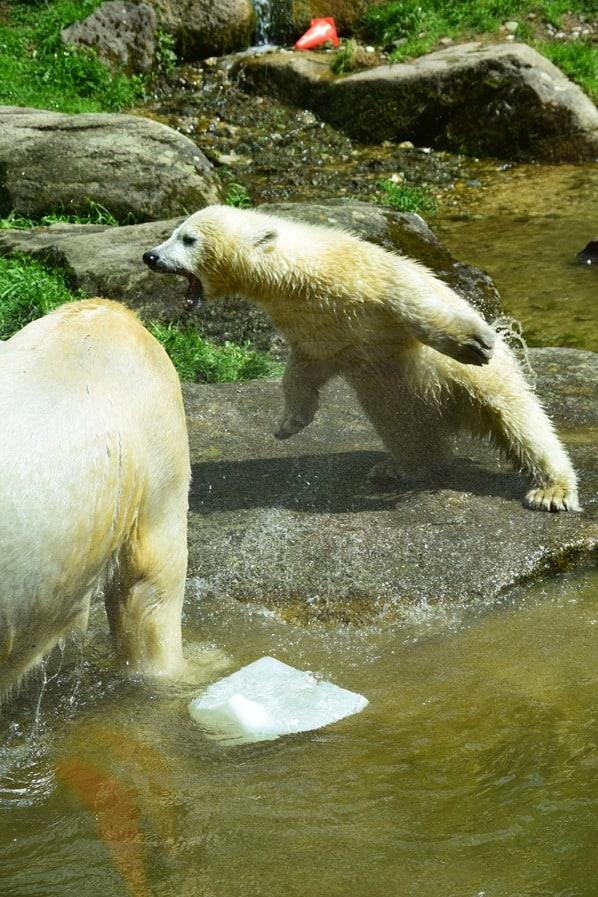 35_Eisbaeren-Baby-Quintana-fliegt-Fotosafari-Tierpark-Hellabrunn-Zoo-Muenchen