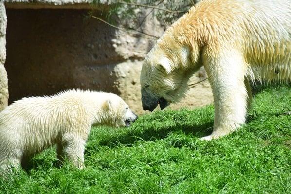 36_Eisbaeren-Fotosafari-Tierpark-Hellabrunn-Zoo-Muenchen