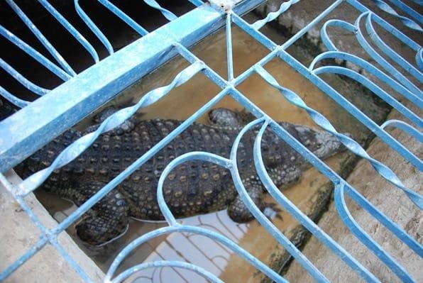 Krokodil-in-Gefangenschaft-Aegypten