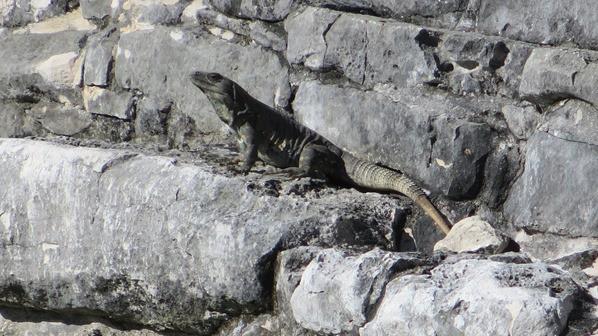 04_Leguan-Tempel-Maya-Ruine-Tulum-Cancun-Yucatan-Mexiko-Karibik