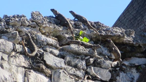 08_Leguane-am-Tempel-des-herabsteigenden-Gottes-Maya-Ruine-Tulum-Cancun-Yucatan-Mexiko-Karibik