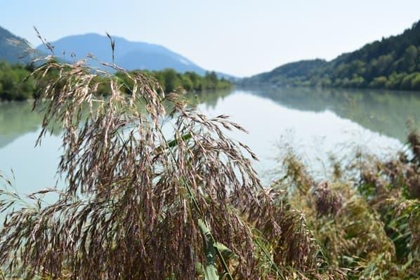 13_Impressionen-Ufer-Drau-Schilf-Drauradweg-Kaernten-Oesterreich