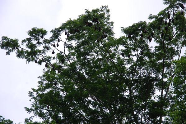 06_Flughunde-Botanischer-Garten-Pamplemousses-Mauritius