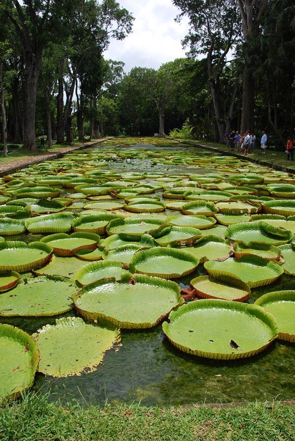 08_Seerosen-Botanischer-Garten-Pamplemousses-Mauritius
