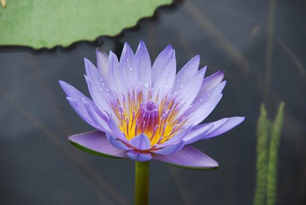 11_lila-Blume-Botanischer-Garten-Pamplemousses-Mauritius