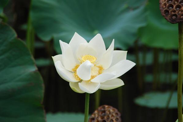 12_weisse-Blume-Botanischer-Garten-Pamplemousses-Mauritius