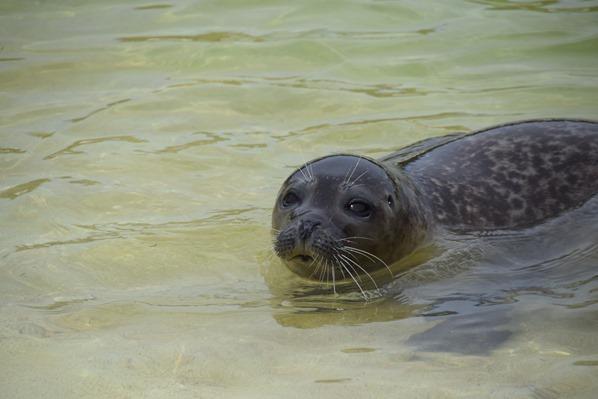 09_Seehund-Snorre-Seehundstation-Friedrichskoog-Spitze-Nordsee-Nordfriesland-Schleswig-Holstein-Deutschland