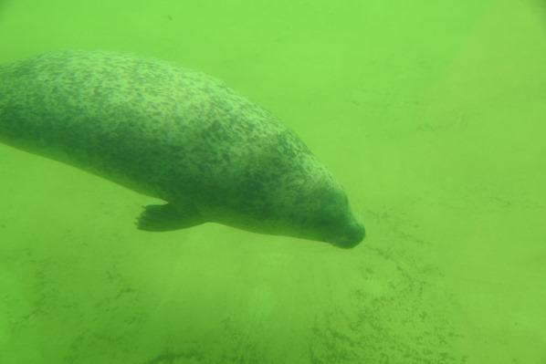 11_Seehund-Unterwasser-Seehundstation-Friedrichskoog-Spitze-Nordsee-Nordfriesland-Schleswig-Holstein-Deutschland
