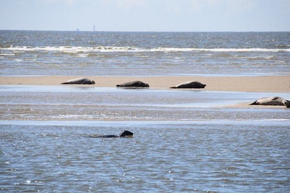 24_Seehunde-Kegelrobben-Seehundsbank-Buesum-Dithmarschen-Nordsee