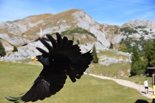 20_Freche-Alpendohle-Rofan-Achensee-Tirol-Oesterreich