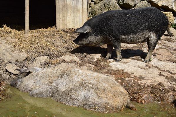 06_Wollschweine-Markus-Wasmeier-Freilichtmuseum-Schliersee-Oberbayern-Bayern-Deutschland