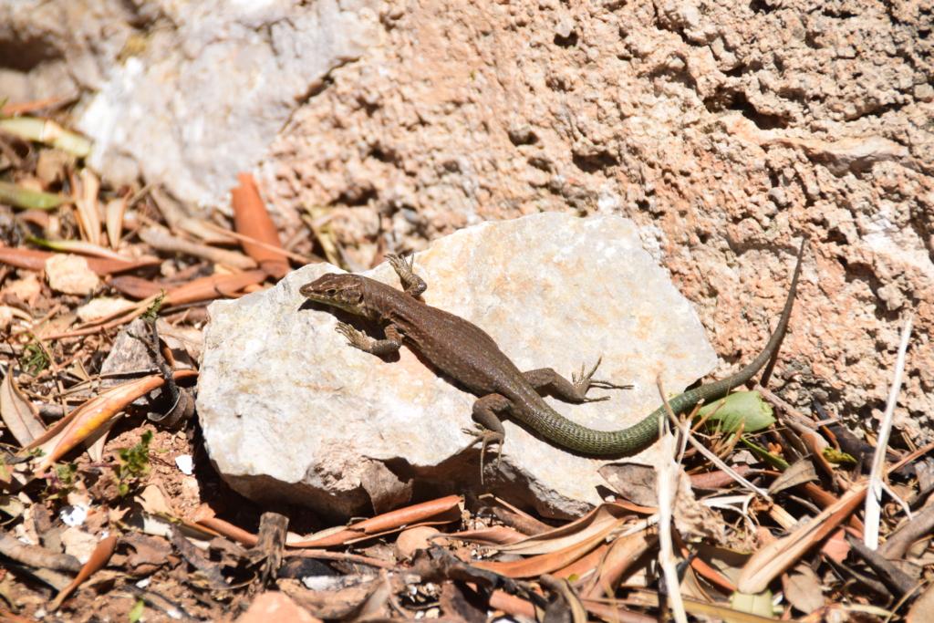 Sa Dragonera Eidechse Dracheninsel Mallorca Balearen Spanien