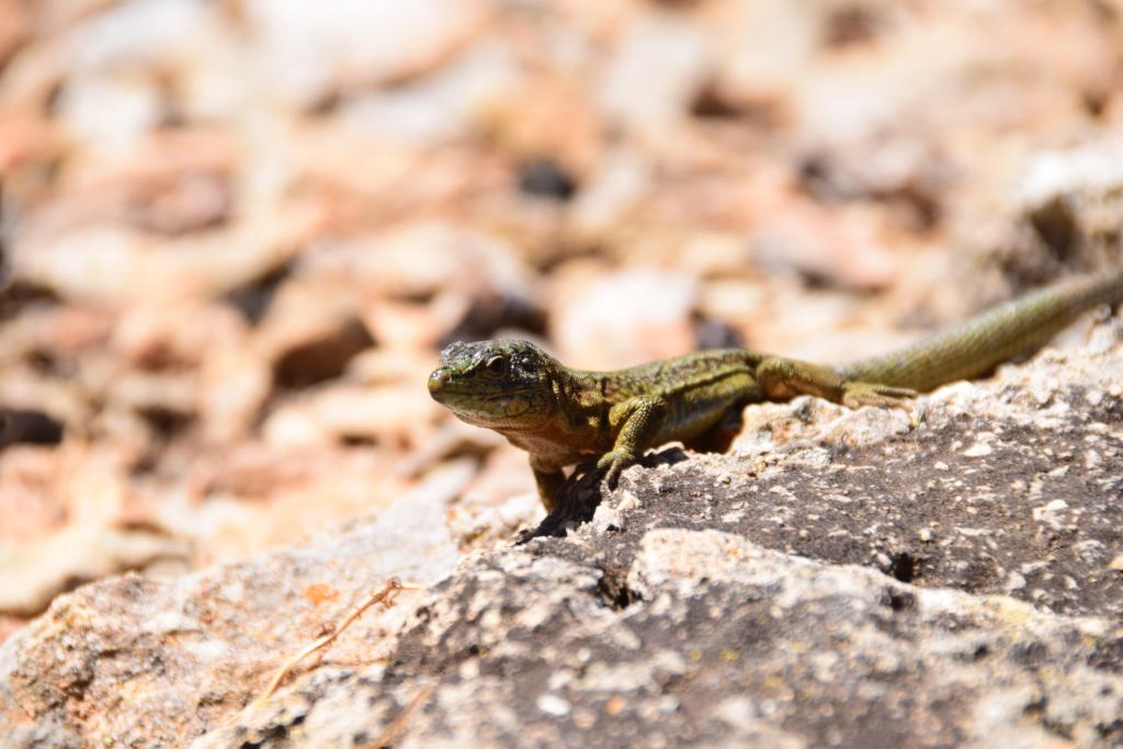 Sa Dragonera Eidechse Dracheninsel Mallorca Balearen Spanien Ausflug mit Kindern