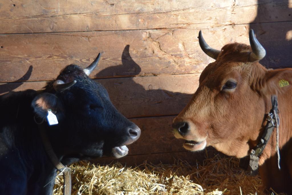 Alpenzoo Innsbruck Kuh Kühe Rind Rinder Tirol Österreich