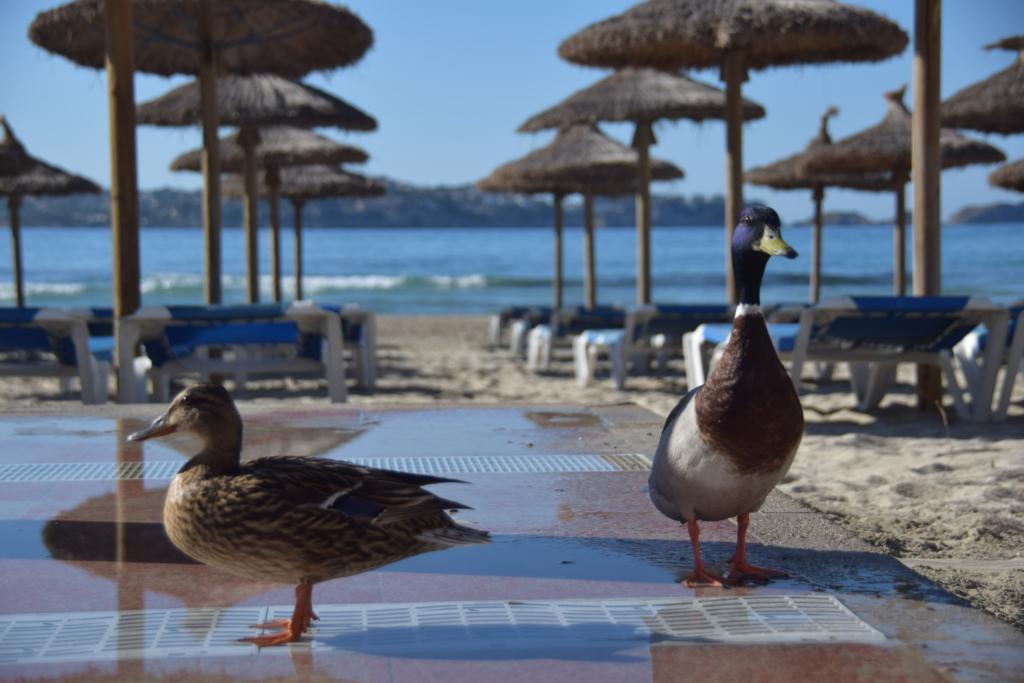 Paguera Mallorca Urlaub Enten Strand Platja Palimra Peguera Balearen Spanien