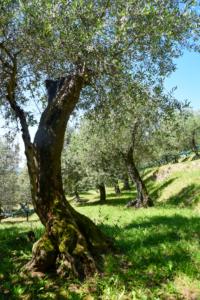 Olivenhain Ferienhaus Toskana Italien