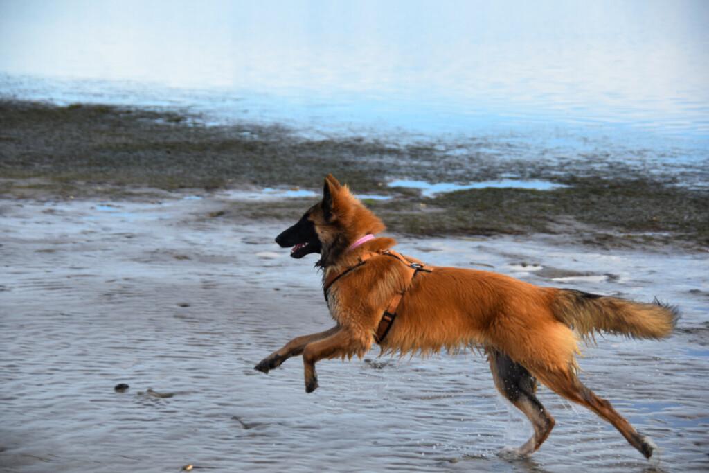 Hund Tervueren Mira Strand Grado Pineta Herbst Friaul-Julisch Venetien Italien