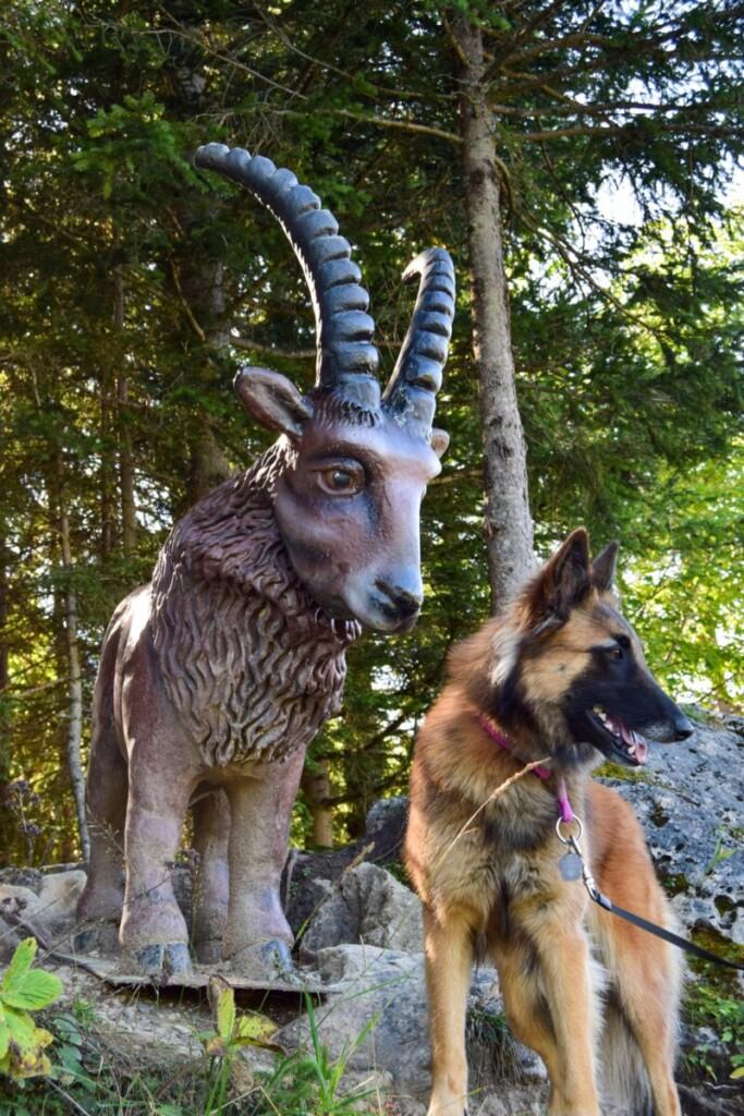 Hund neben Steinbock Erlebnispfad Rundwanderweg Zwölferkopf Karwendel Achensee Pertisau Tirol Österreich
